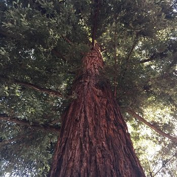 soaring redwood